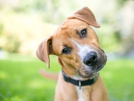 A cute young Retriever  Pit Bull Terrier mixed breed dog listening with a head tilt