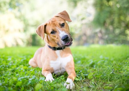 A cute young Retriever  Pit Bull Terrier mixed breed dog lying in the grass and listening with a head tilt Banco de Imagens