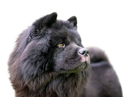 A black Chow Chow dog with a thick wooly coat