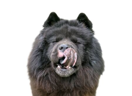 A black Chow Chow dog with a thick wooly coat licking its lips Reklamní fotografie
