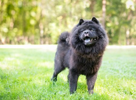 A black Chow Chow dog with a thick wooly coat standing outdoors Reklamní fotografie