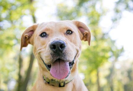 A yellow Labrador Retriever mixed breed dog with a happy expression Reklamní fotografie