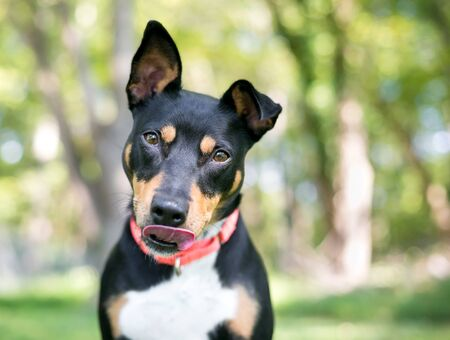A friendly tricolor mixed breed dog with one upright ear and one floppy ear, licking its lips