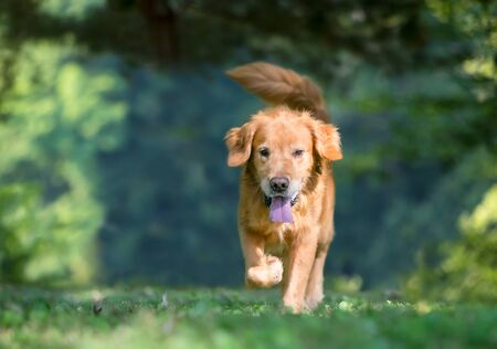 A happy Golden Retriever dog outdoors walking directly toward the camera Stock Photo