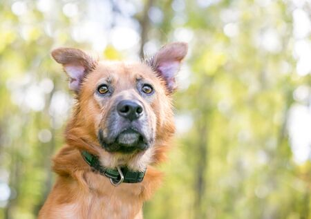 Close up of a brown Shepherd mixed breed dog with brown eyes Reklamní fotografie