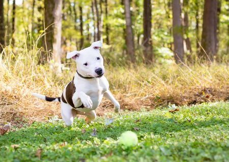 A white Pit Bull Terrier mixed breed dog with brown spots chasing a ball outdoors Zdjęcie Seryjne