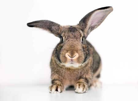 An agouti domesticated pet rabbit with large ears