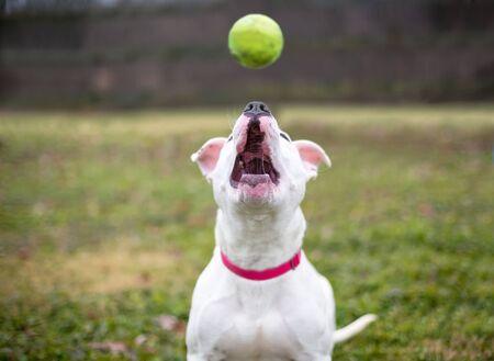 Biały pies rasy mieszanej Pit Bull Terrier patrzący w górę, aby złapać piłkę