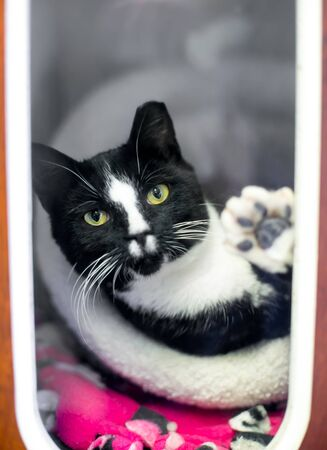 A black and white Tuxedo cat in an animal shelter cage with its ear tipped, indicating that it has been spayed or neutered and vaccinated as part of a Trap Neuter Return program Stok Fotoğraf