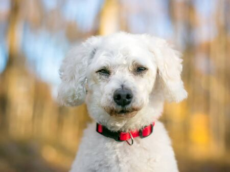 A white Miniature Poodle mixed breed dog squinting its eyes with a bored or sleepy expression