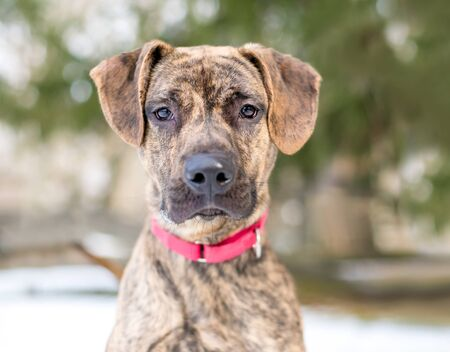 A brindle Hound x Terrier mixed breed dog wearing a red collar Archivio Fotografico