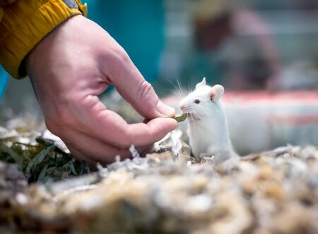 A white pet mouse in a cage full of shredded paper, receiving a treat from a person