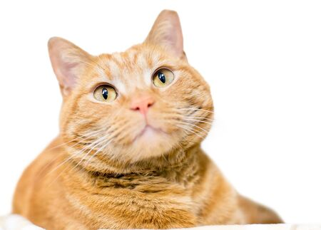 An orange tabby domestic shorthair cat with its left ear tipped, indicating that it has been spayed or neutered and vaccinated as part of a Trap Neuter Return program