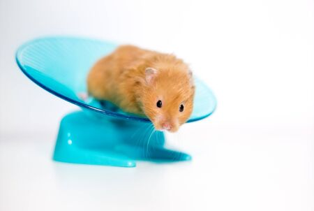 A golden or Syrian pet hamster on a saucer shaped exercise wheel Standard-Bild
