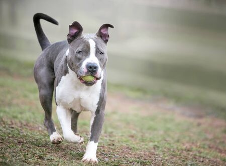 A playful gray and white Pit Bull Terrier mixed breed dog carrying a ball in its mouth