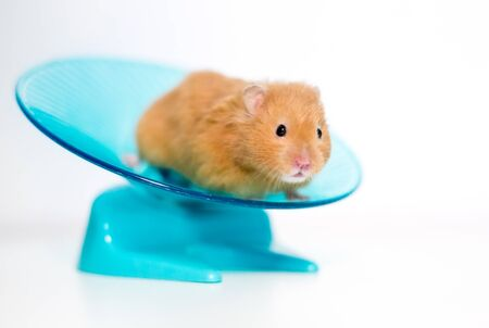 A golden or Syrian pet hamster on a saucer shaped exercise wheel