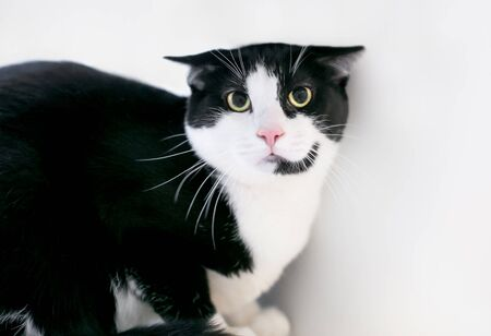 An unhappy black and white Tuxedo cat with a frightened expression, dilated pupils and ears held flat Banque d'images - 144779406