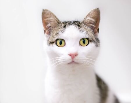 A young domestic shorthair cat with tabby and white markings looking at the camera