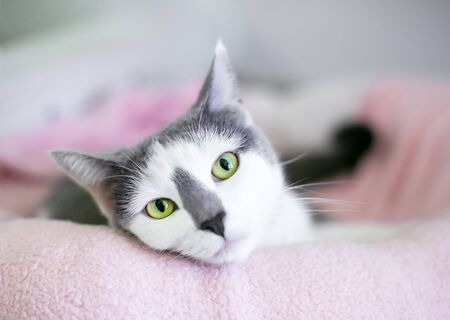 A grey and white domestic shorthair cat with green eyes relaxing in a cat bed