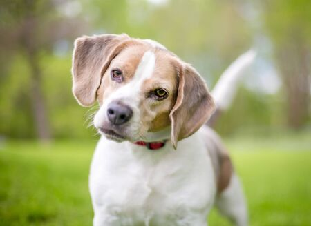A Beagle dog with a curious expression, listening with a head tilt