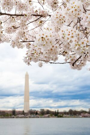 A view of the Washington Monument with cherry blossoms during the Cherry Blossom Festival in Washington DC, USA