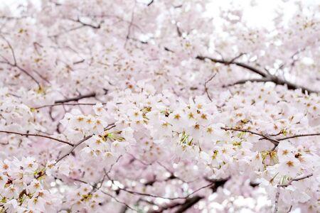 Yoshino cherry blossoms (Prunus x yedoensis) at the Cherry Blossom Festival in Washington DC, USA 版權商用圖片