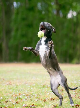A black and white Pit Bull Terrier mixed breed dog jumping up to catch a ball 版權商用圖片