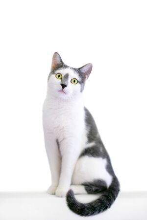 A grey and white domestic shorthair cat sitting and looking at the camera
