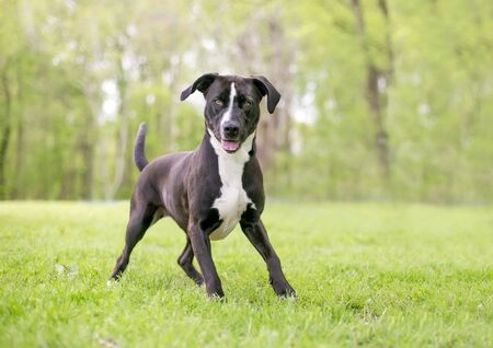 A black and white Pit Bull Terrier mixed breed dog with large floppy ears standing in a playful stance
