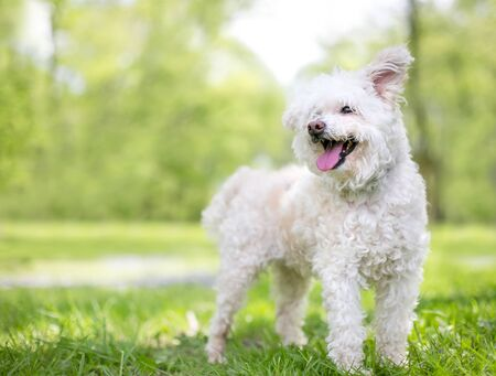 A furry white Poodle mixed breed dog with floppy ears and a happy expression
