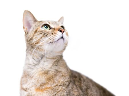 A domestic shorthair cat with patched tabby markings looking up