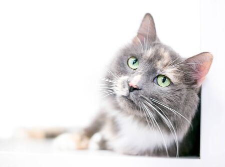 A fluffy Dilute Calico domestic medium hair cat with green eyes