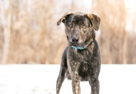 A brindle mixed breed dog wearing a blue collar standing outdoors in the snow 版權商用圖片