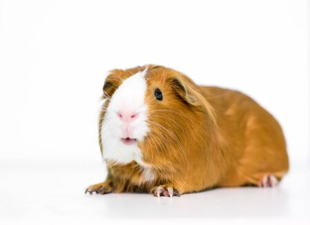 A red and white domestic Guinea Pig on a white background 版權商用圖片