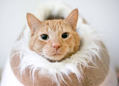 An orange tabby domestic shorthair cat with dilated pupils peeking out of a cat bed lined with furry material 版權商用圖片