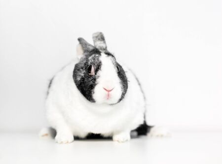 An overweight Dutch rabbit holding its ears back with a nervous expression