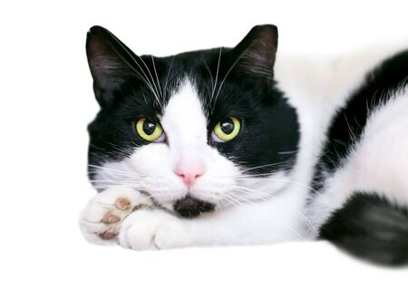 A black and white shorthair cat resting its head on its paws 版權商用圖片
