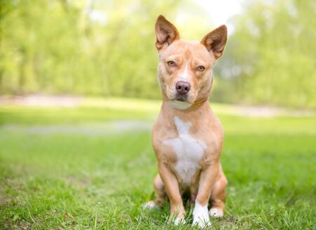 A cute tan and white mixed breed dog with short legs and pointed ears sitting outdoors
