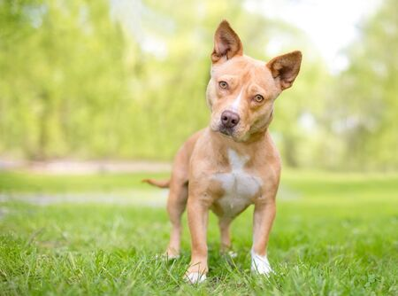 A cute tan and white mixed breed dog with short legs and pointed ears, listening with a head tilt 版權商用圖片