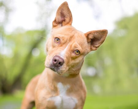 A cute tan and white mixed breed dog with pointed ears, listening with a head tilt 版權商用圖片