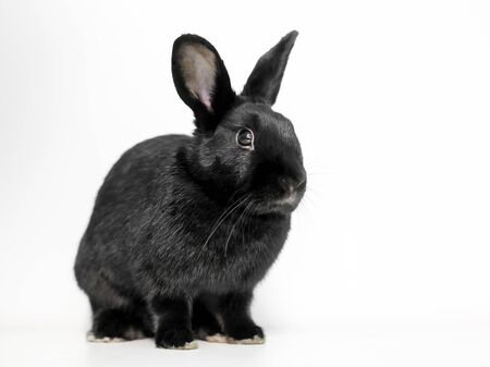 A black Dwarf domesticated rabbit with upright ears sitting on a white background 版權商用圖片