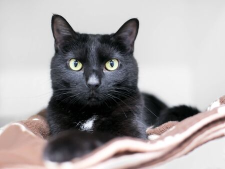 A black domestic shorthair cat relaxing on a blanket