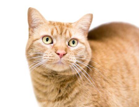 An orange tabby shorthair cat with yellow eyes