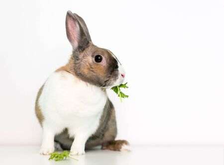 A brown and white Dutch pet rabbit eating some fresh parsley