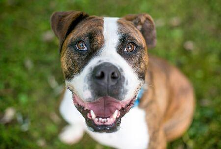 A happy brindle Bulldog mixed breed dog looking up at the camera 版權商用圖片