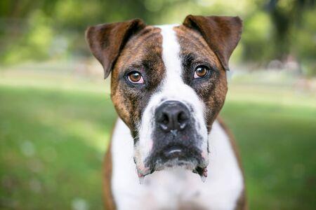 A brindle Bulldog mixed breed dog looking at the camera and drooling