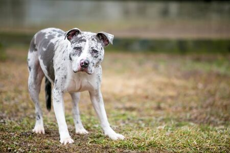 A Catahoula Leopard Dog x Pit Bull Terrier mixed breed dog displaying nervous body language and looking at the camera