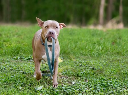 A Pit Bull Terrier mixed breed dog holding a leash in its mouth, ready to go for a walk 版權商用圖片