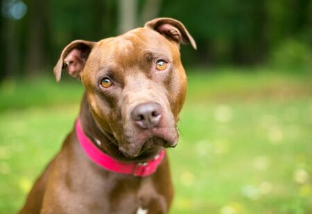 A Pit Bull Terrier x Labrador Retriever mixed breed dog wearing a red collar and looking toward the camera with a head tilt