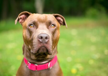 A Pit Bull Terrier x Labrador Retriever mixed breed dog with a serious expression, wearing a red collar